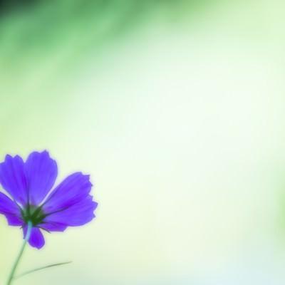 「紫色のコスモス」の写真素材