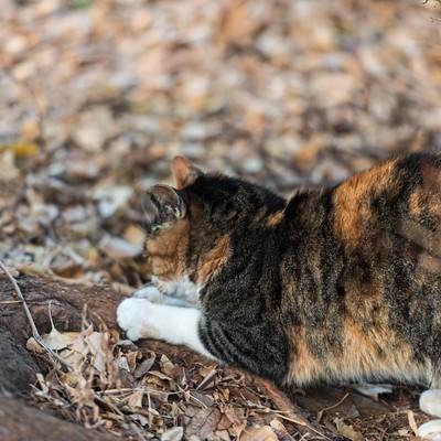 「爪を研ぐ猫」の写真素材