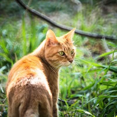 「振り返る猫」の写真素材