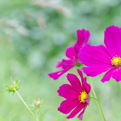 「コスモスの花」の写真素材