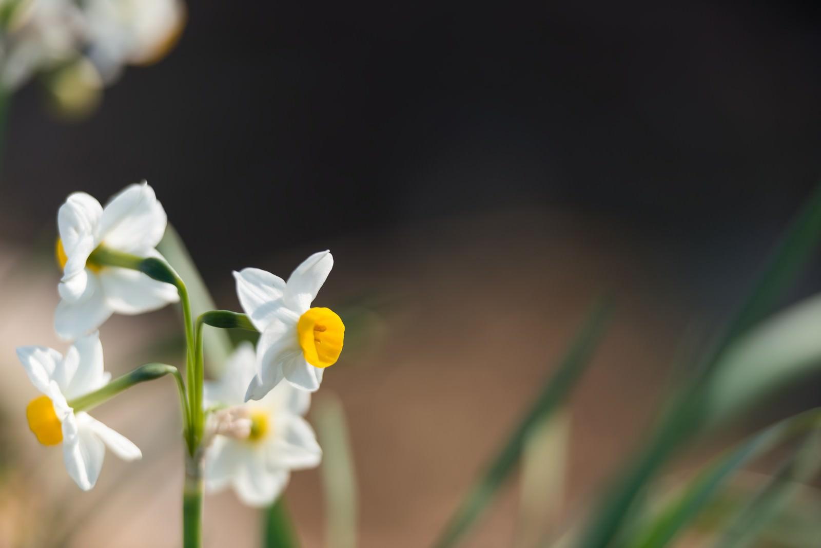 「水仙の花」の写真
