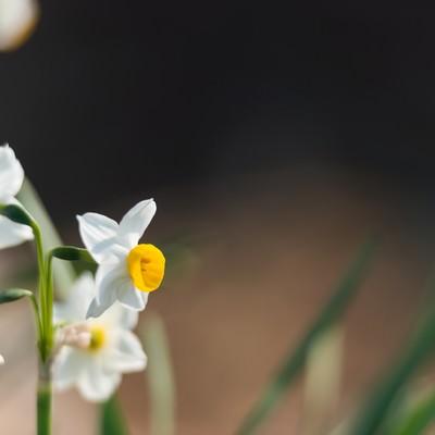 「水仙の花」の写真素材