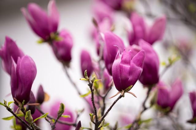 木蓮の花の写真
