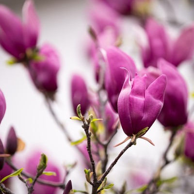 「木蓮の花」の写真素材