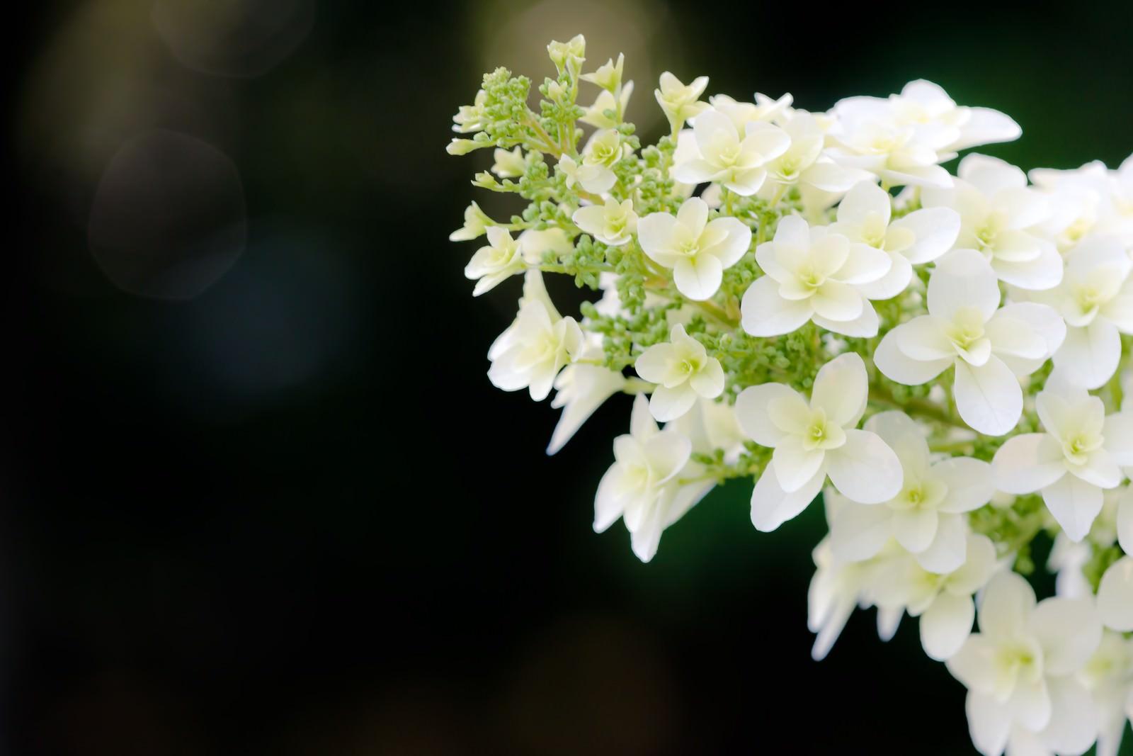 「アジサイの花」の写真