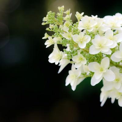 「アジサイの花」の写真素材