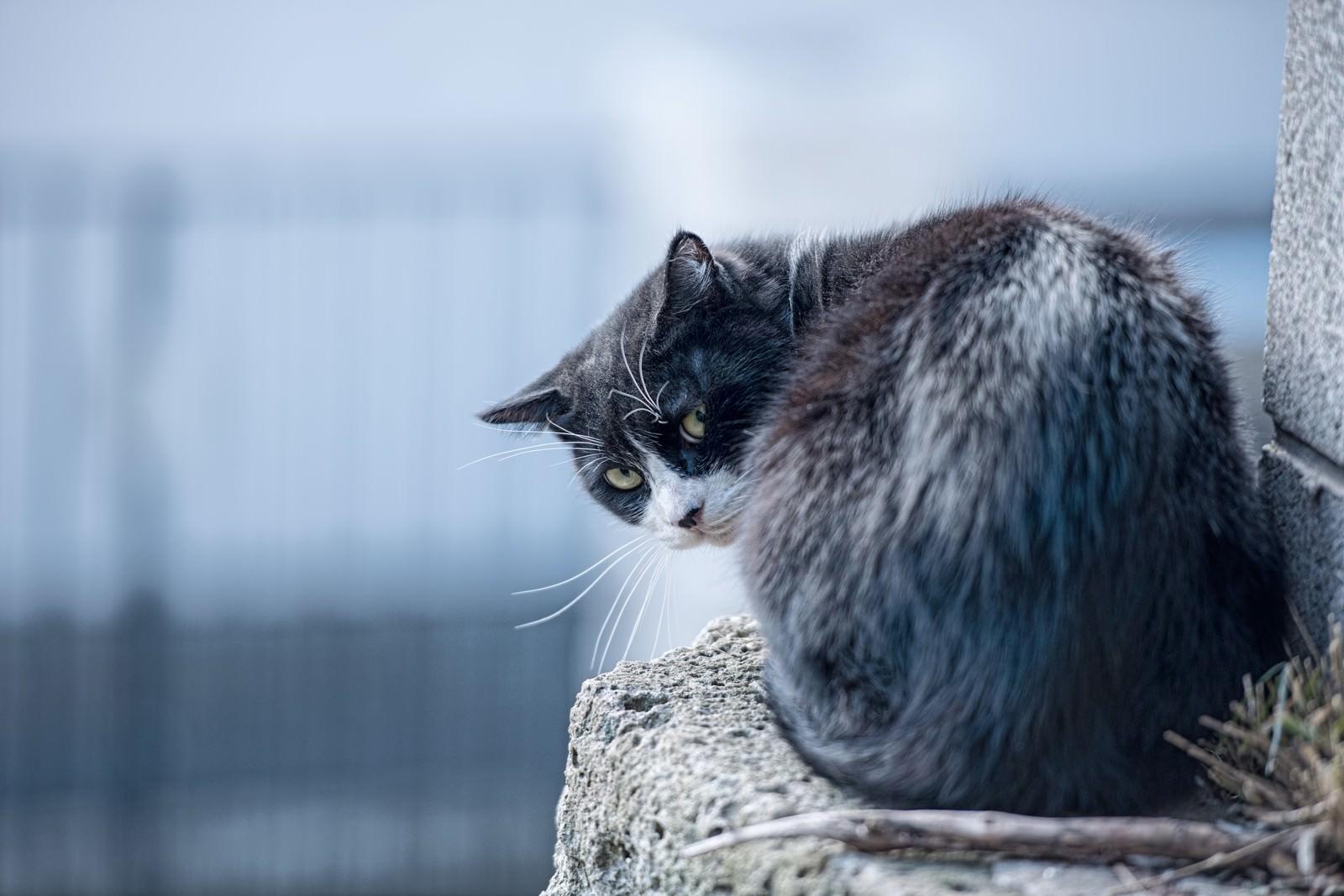 「後ろを気にする猫後ろを気にする猫」のフリー写真素材を拡大