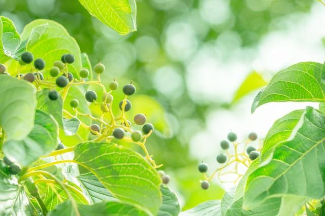 緑の木の実の写真