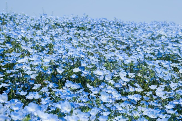 広がる一面の青い花の写真