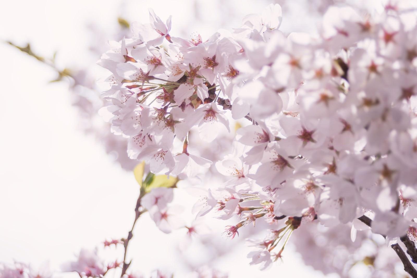 「春の訪れ、桜の開花」の写真