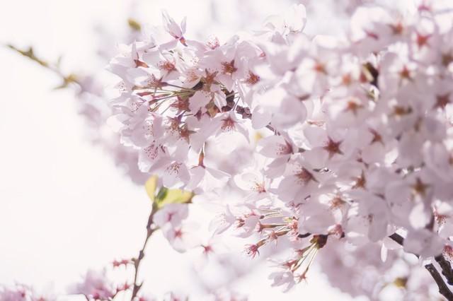 春の訪れ、桜の開花の写真