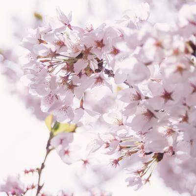 「春の訪れ、桜の開花」の写真素材