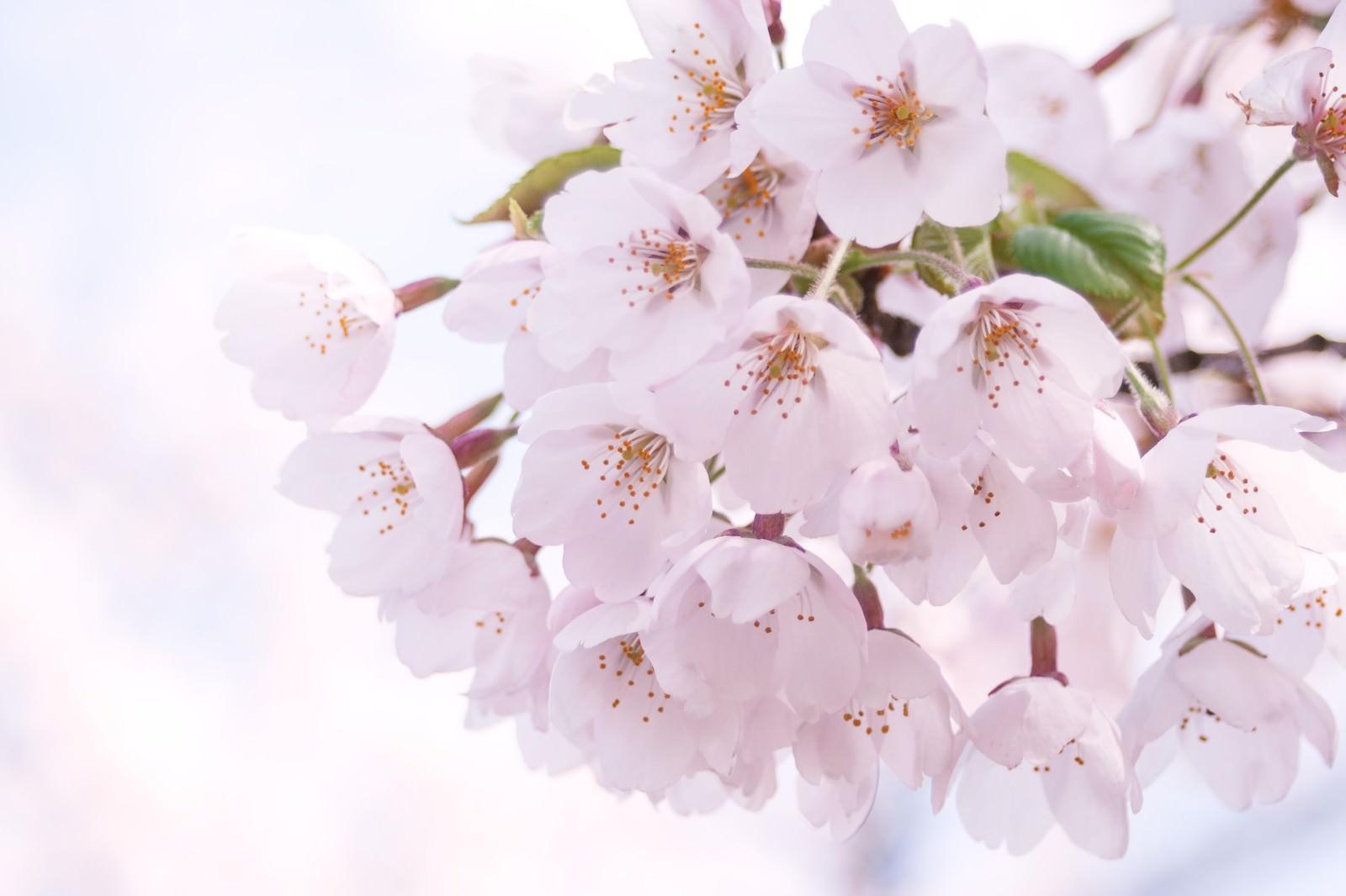 「光が差し込むピンクの桜」の写真