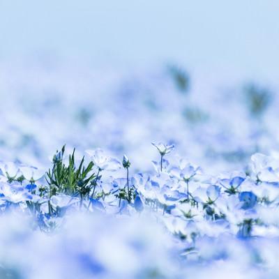 「ネモフィラの花」の写真素材