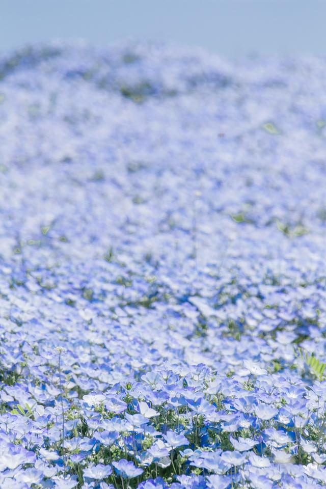 一面のネモフィラ畑の写真