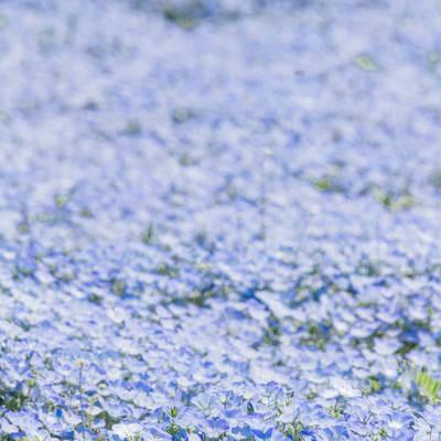 「一面のネモフィラ畑」の写真素材