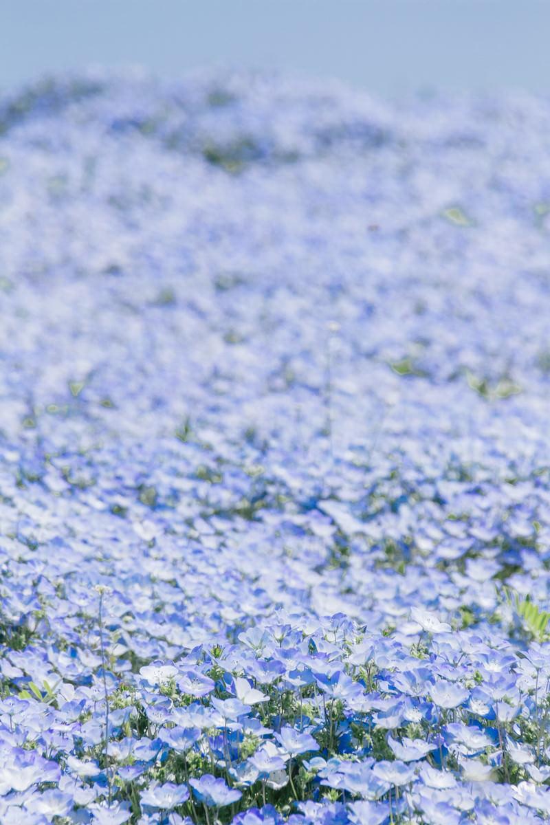 「一面のネモフィラ畑」の写真