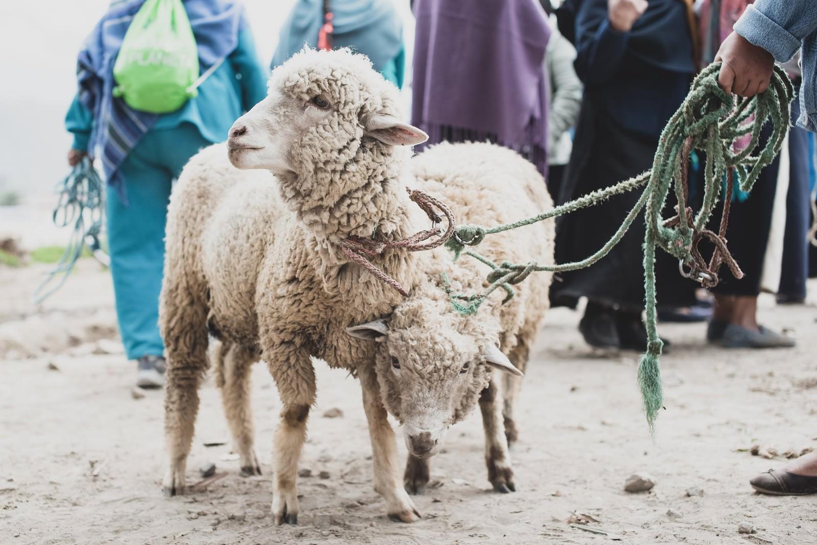「売買される羊」の写真