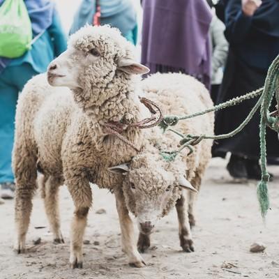 「売買される羊」の写真素材