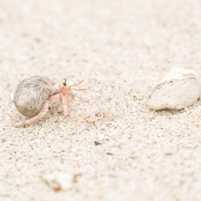 「欠けたサンゴとにらめっこをするヤドカリ」の写真素材
