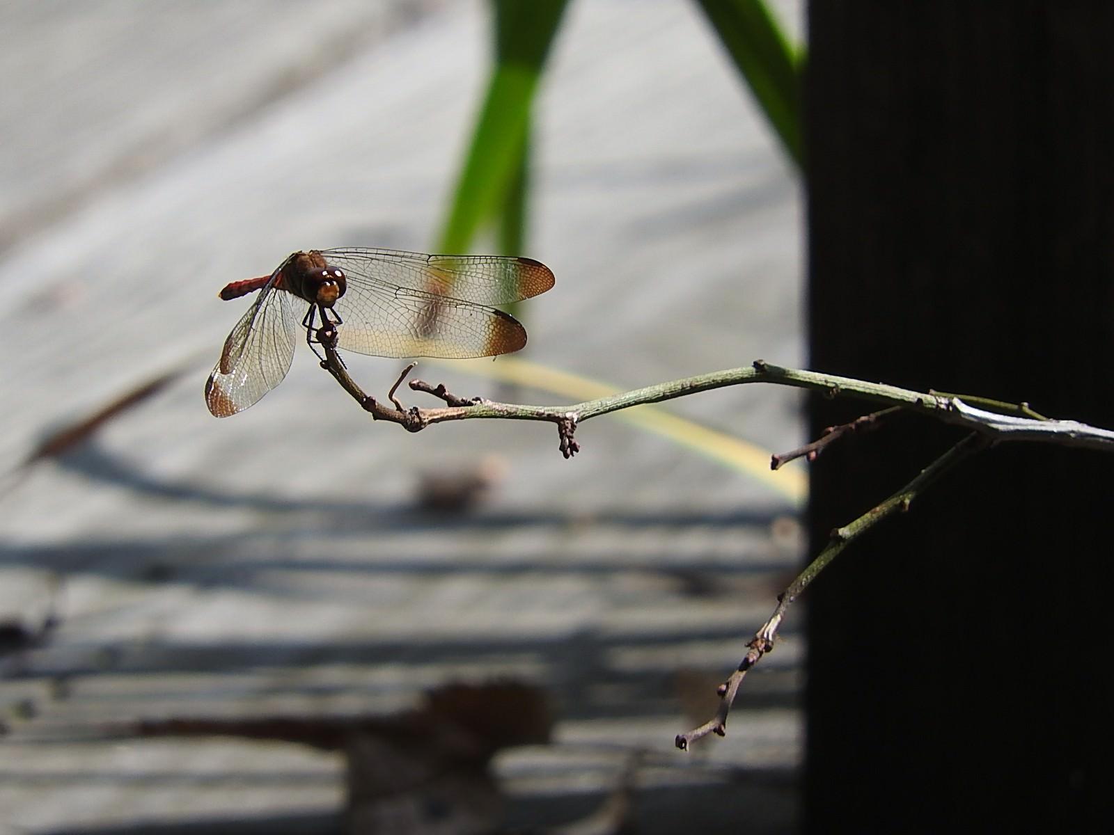 「枝に止まる赤とんぼ」の写真