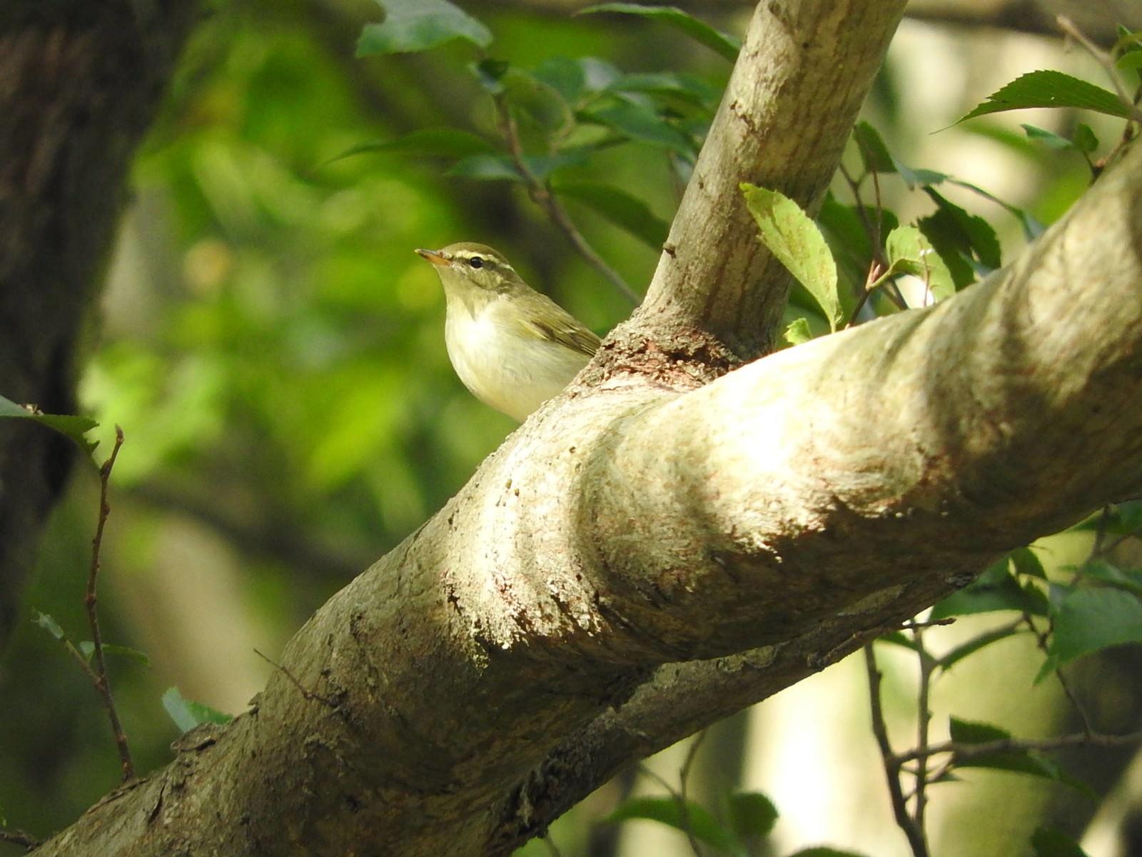 「ムシクイ(野鳥)」の写真
