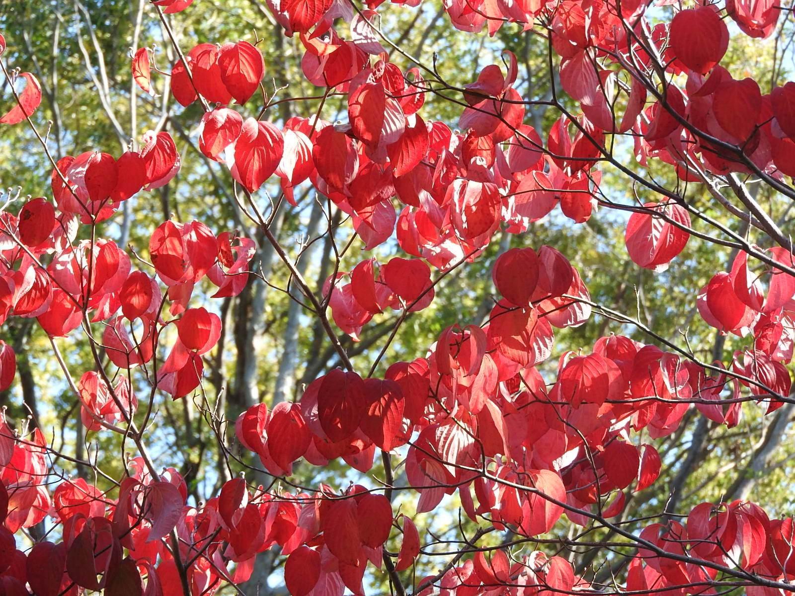 「紅葉したハナミズキの葉」の写真