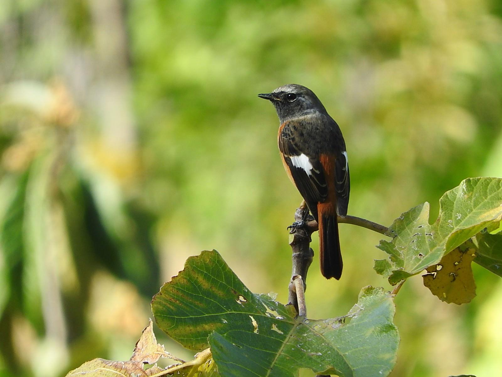 「ジョウビタキのオス(野鳥)」の写真