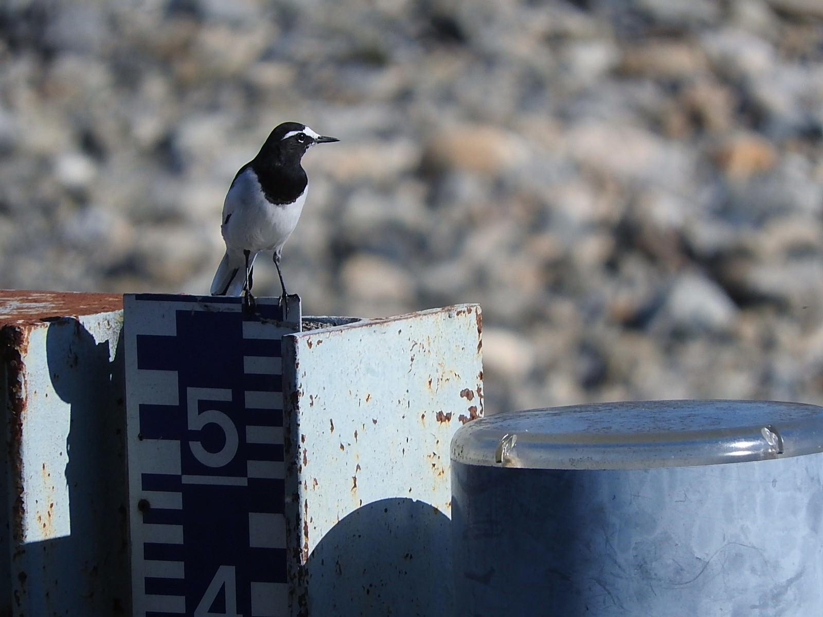 「セグロセキレイ(野鳥)」の写真