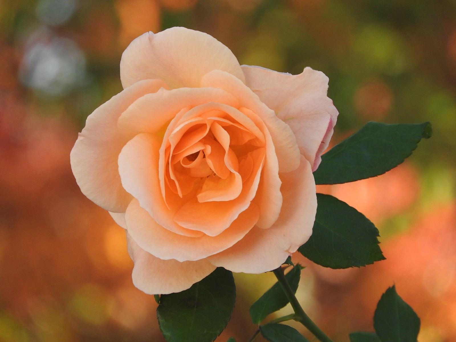 「秋の薔薇」の写真