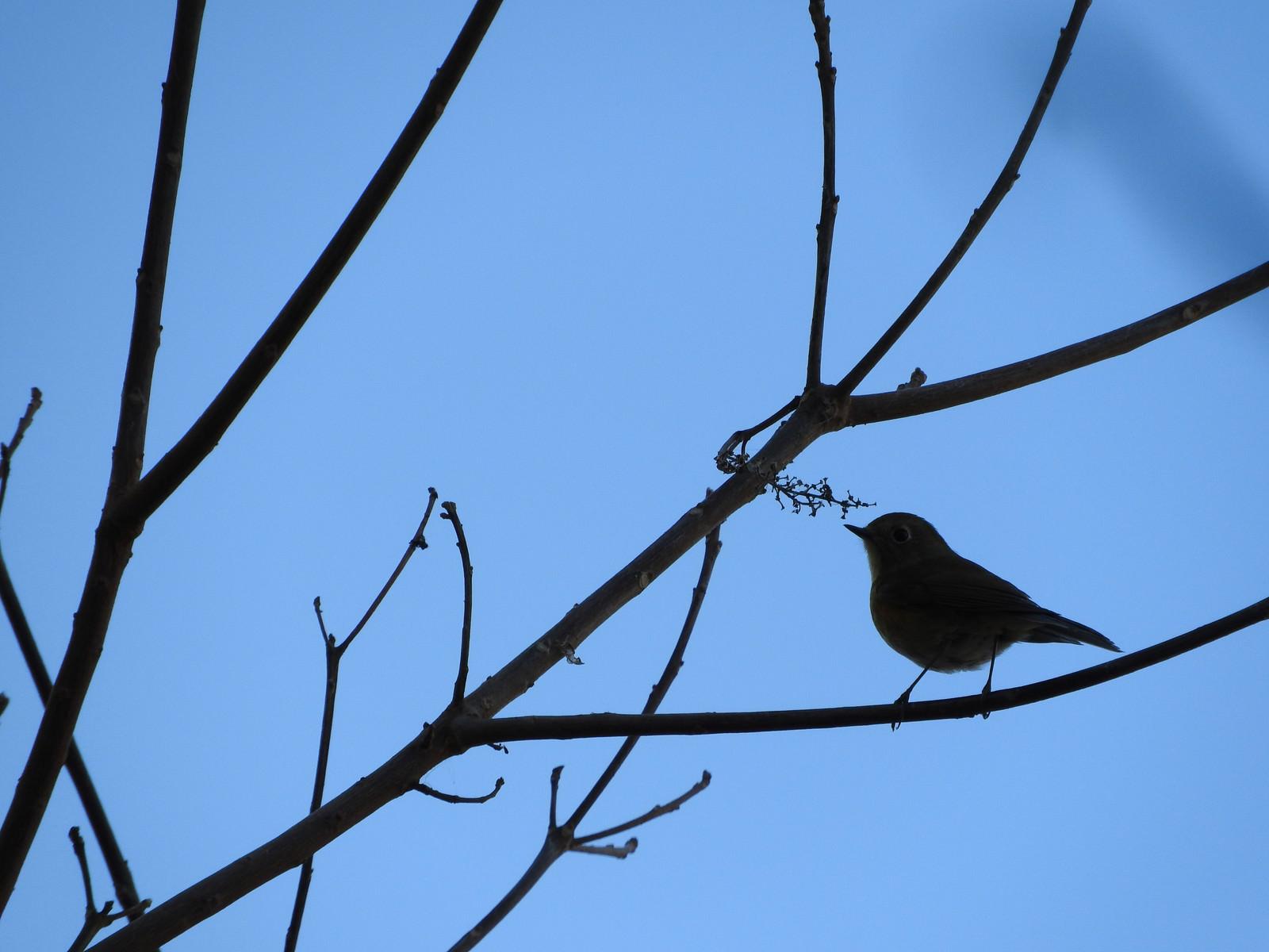 「枝に止まるメジロのシルエット」の写真