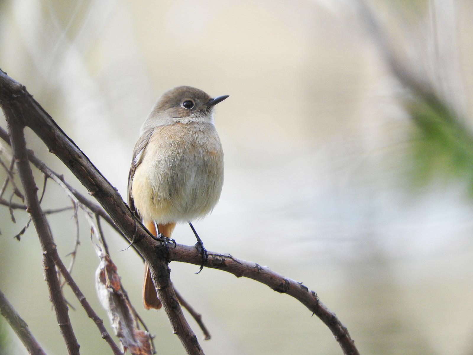 「ジョウビタキのメス(野鳥)」の写真