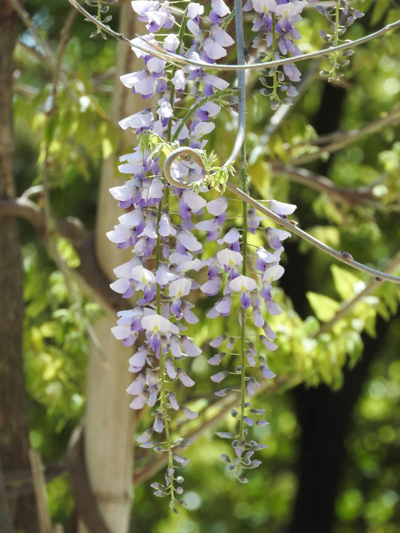 「藤の花(マメ科)」の写真