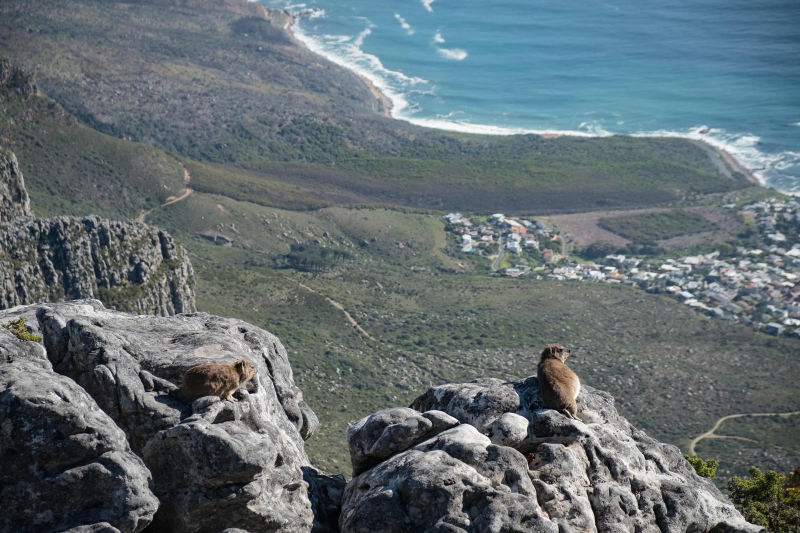 「テーブルマウンテンに生息するケープハイラックス(南アフリカ)」の写真