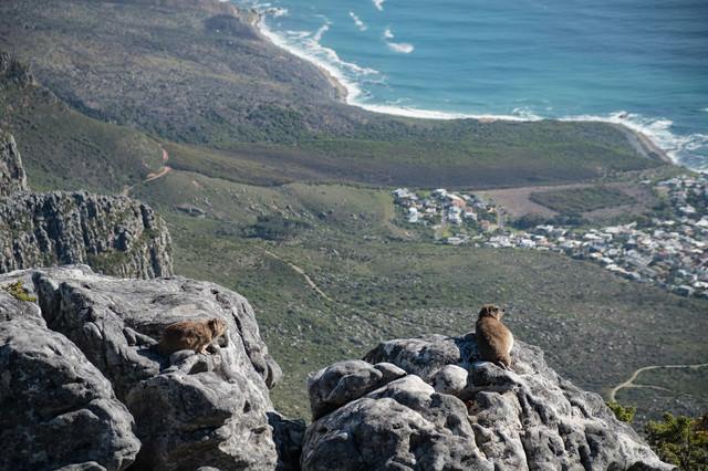 テーブルマウンテンに生息するケープハイラックス(南アフリカ)の写真