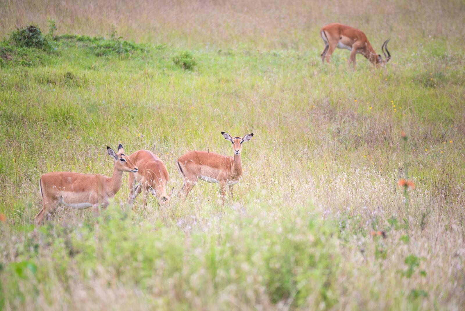 「辺を警戒するインパラの群れ」の写真