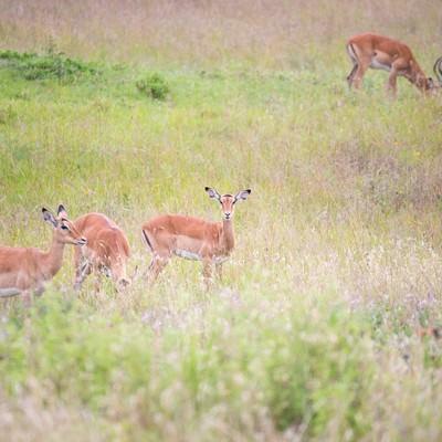 辺を警戒するインパラの群れの写真
