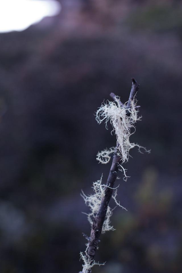 綿が絡まる枯れ木の写真