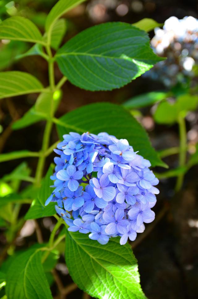 日陰に咲く紫陽花の写真