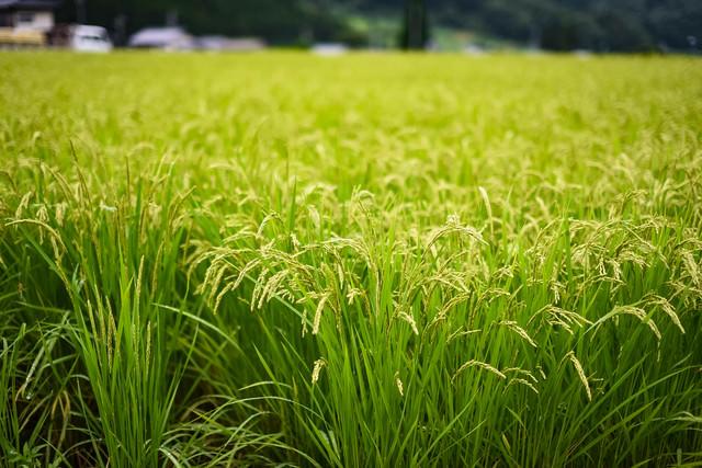 稲作の風景の写真
