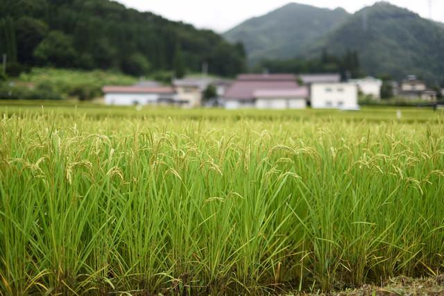 稲作の田園風景の写真