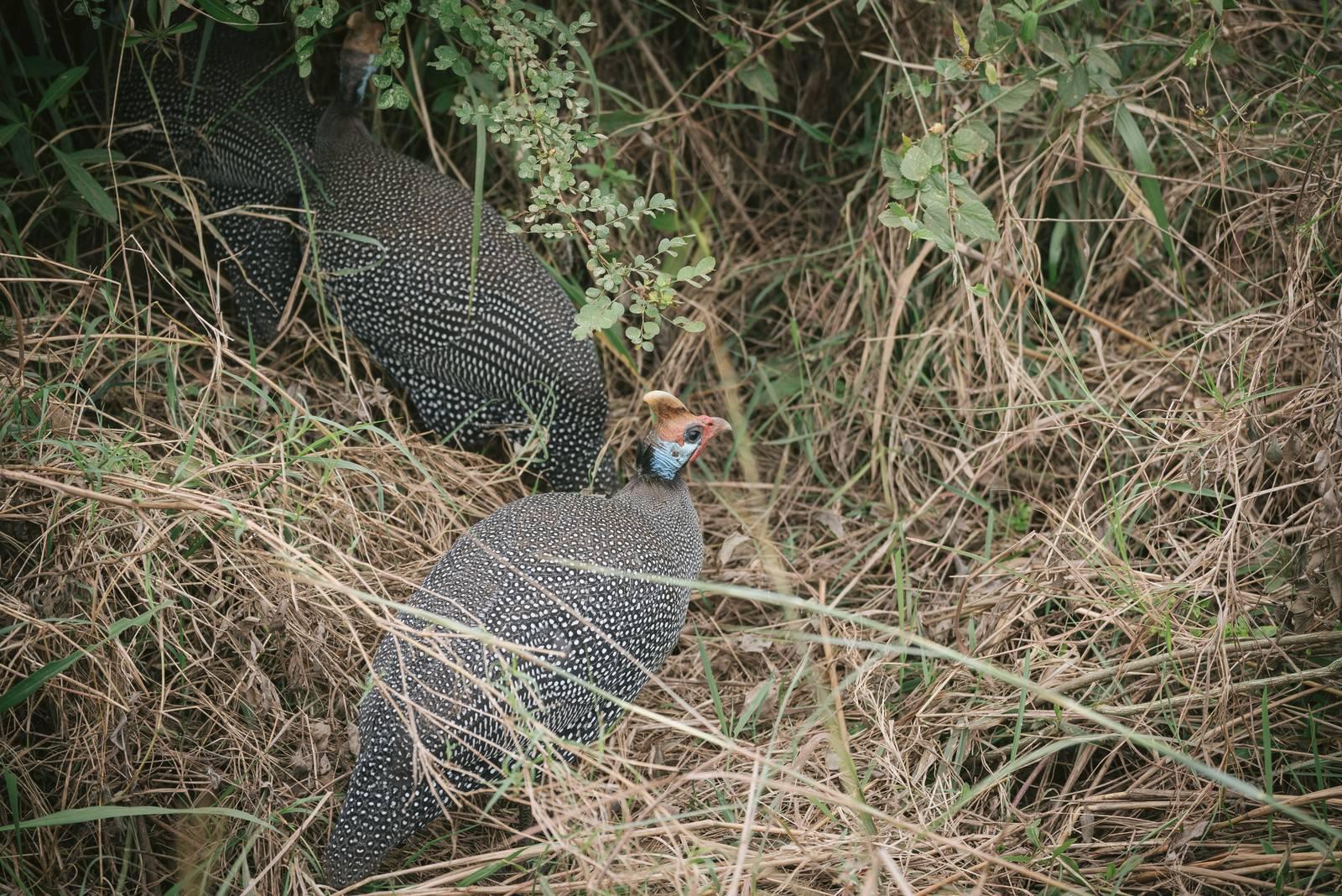 「枯れ草で巣作りするキジ枯れ草で巣作りするキジ」のフリー写真素材を拡大