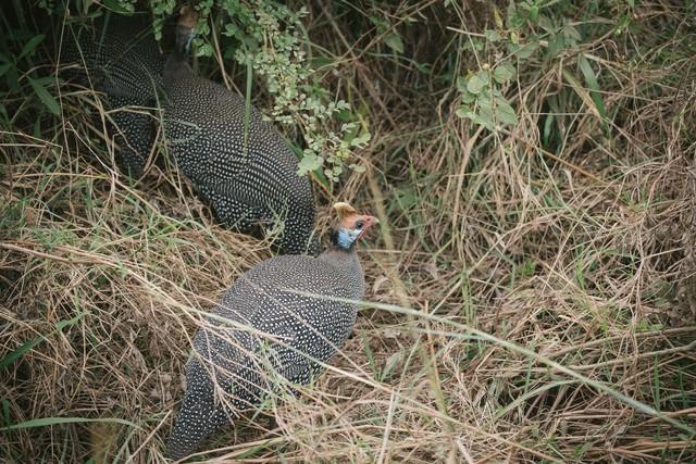 枯れ草で巣作りするキジの写真