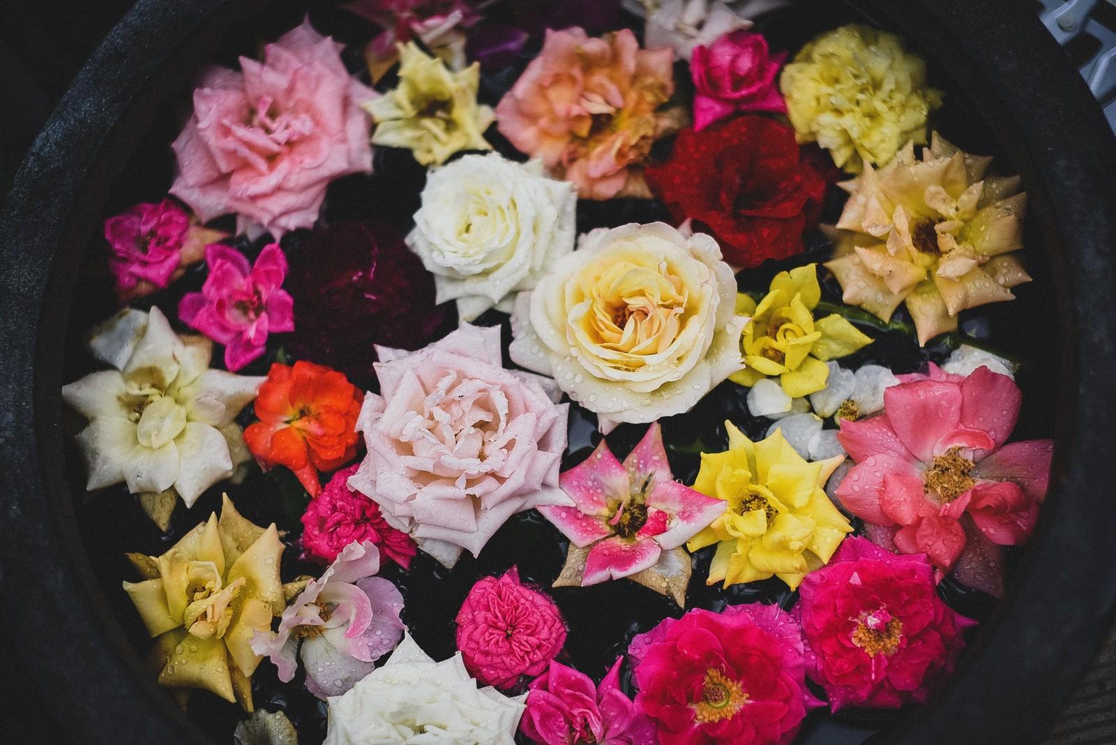 「鉢の中の薔薇の花」の写真