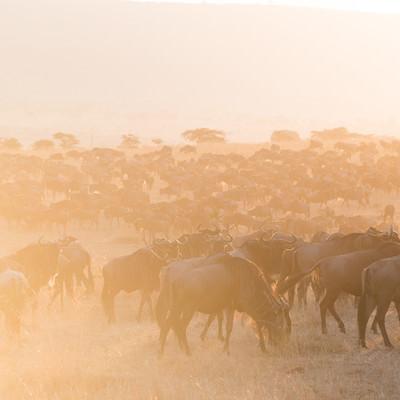 「夕暮れとヌーの群れ」の写真素材