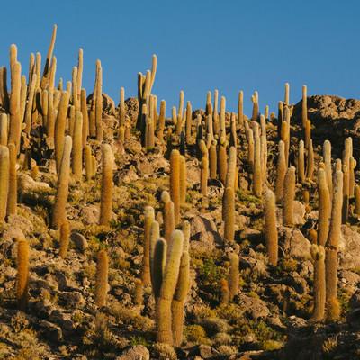 ウユニ塩湖周辺の山に群生するサボテンの写真