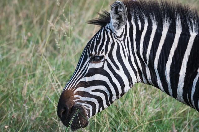 草を食べる野生のシマウマの写真