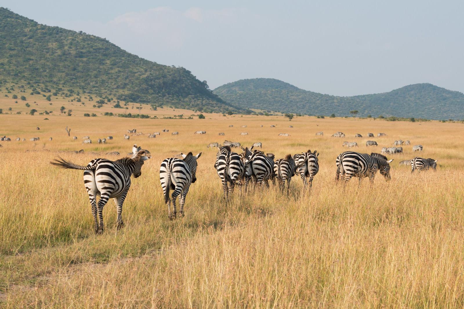 「シマウマの群れ」の写真