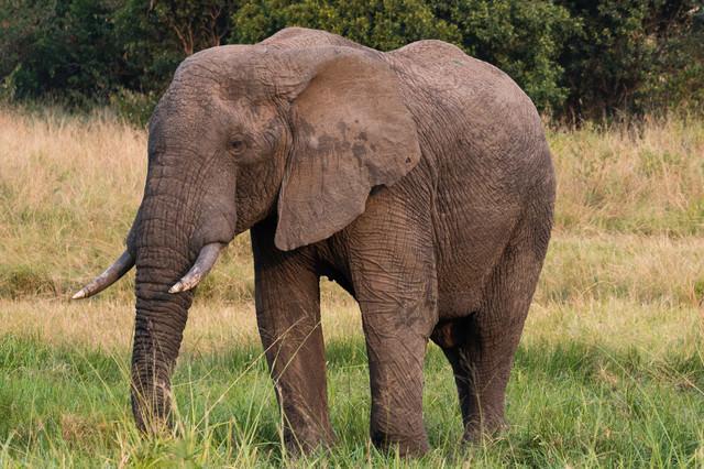 アフリカ象の写真