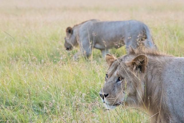 獲物を狙うライオンの写真